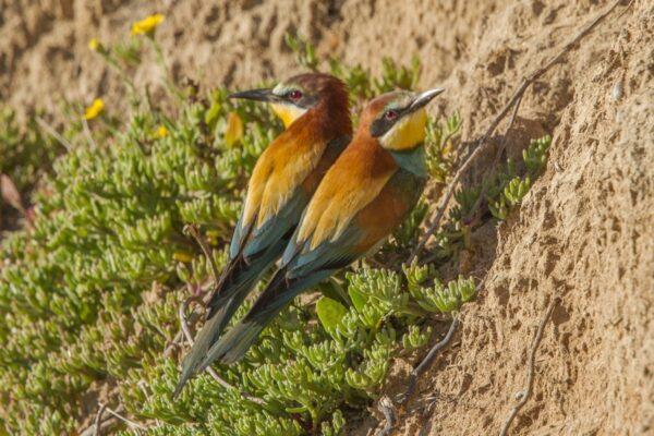 Birdwatching Algarve European Bee-eater photo Peter Dedicoat