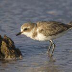 Birdwatching Kentish Plover